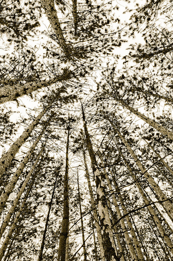Pine Trees Photograph - Fulfillment by Linda McRae