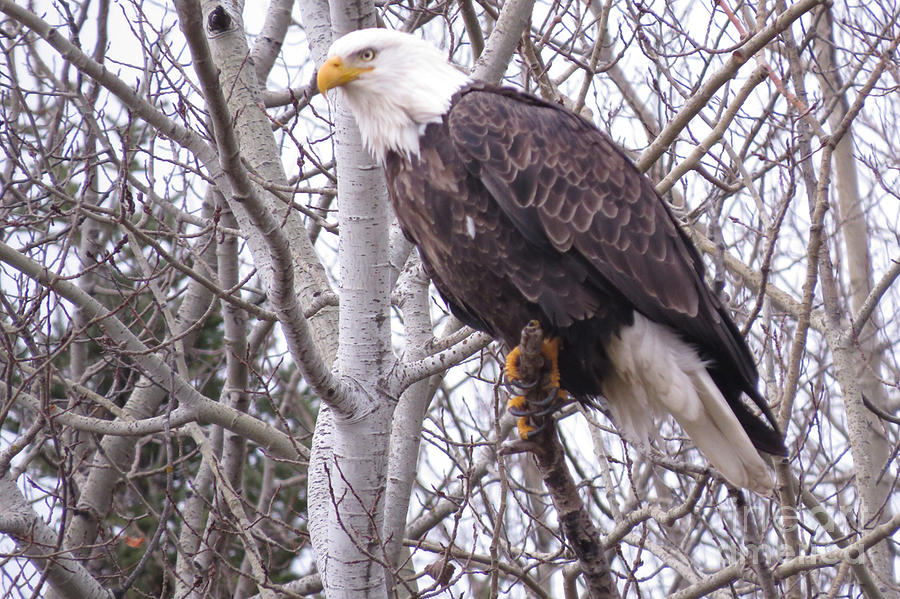 Photograph Photograph - Full Bald Eagle by Mary Mikawoz