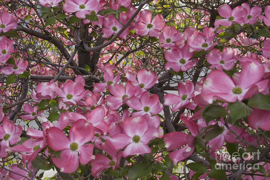Dogwood Photograph - Full Bloom by Idaho Scenic Images Linda Lantzy