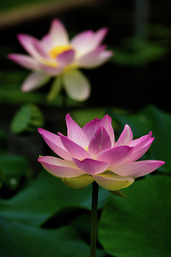 Full Blooming Dual Lotus Lilies by Dennis Dame