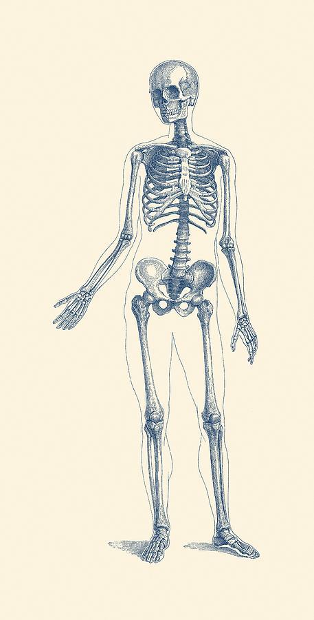 Full Body Skeleton Vintage Anatomy Poster Drawing By Vintage