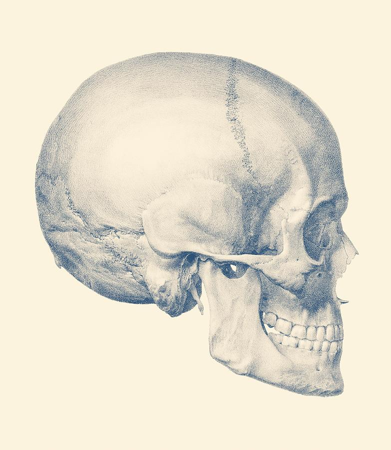 Full Human Skull - Side View - Vintage Anatomy Drawing by Vintage ...