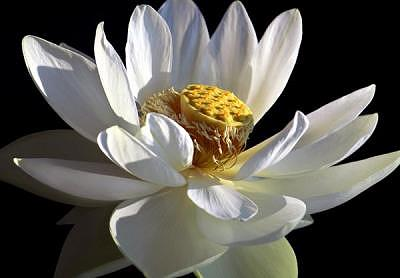 Full Lotus Photograph by Jane Baron