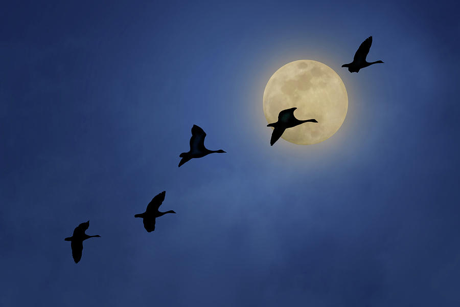 Geese Photograph - Full Moon - Geese by Nikolyn McDonald