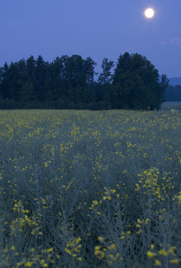 Full Photograph - Full Moon Setting Over Rapeseed Field by Ian Middleton