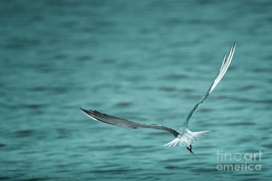 Whiskered Tern Photograph - Fumarel by Hernan Bua