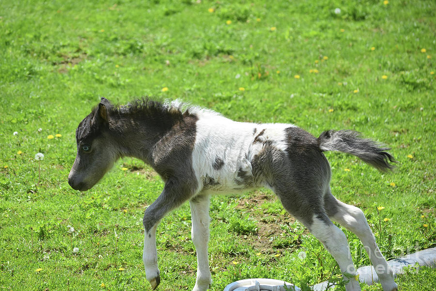 Funny Black And White Mini Horse Foal Making His Way Photograph
