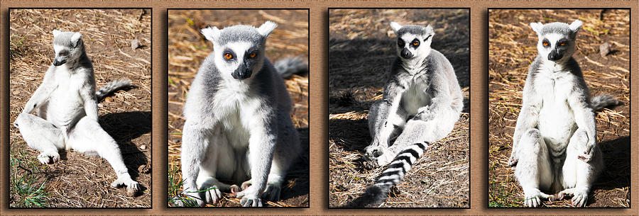Adorable Photograph - Funny Lemurs by Svetlana Sewell