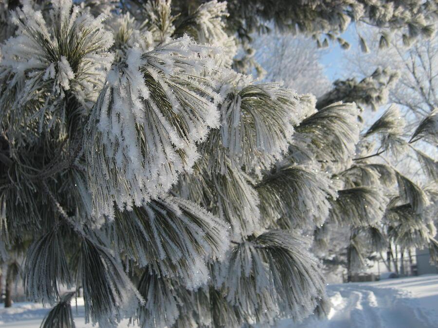 Tree Photograph - Furry Fir by Toni Jackson