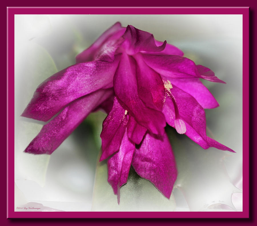 Fuschia Christmas by Lucy VanSwearingen