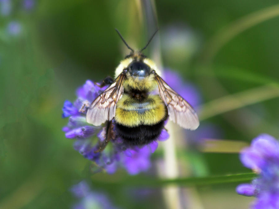 Fuzzy Bumblebee Photograph by Amy Sorvillo
