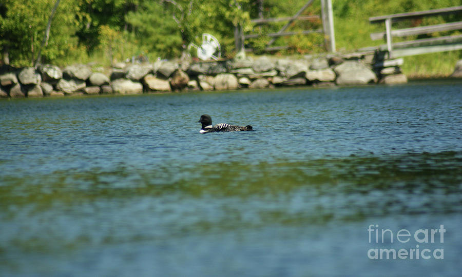 Common Loon Photograph - Fuzzy Dew by Judy Carr