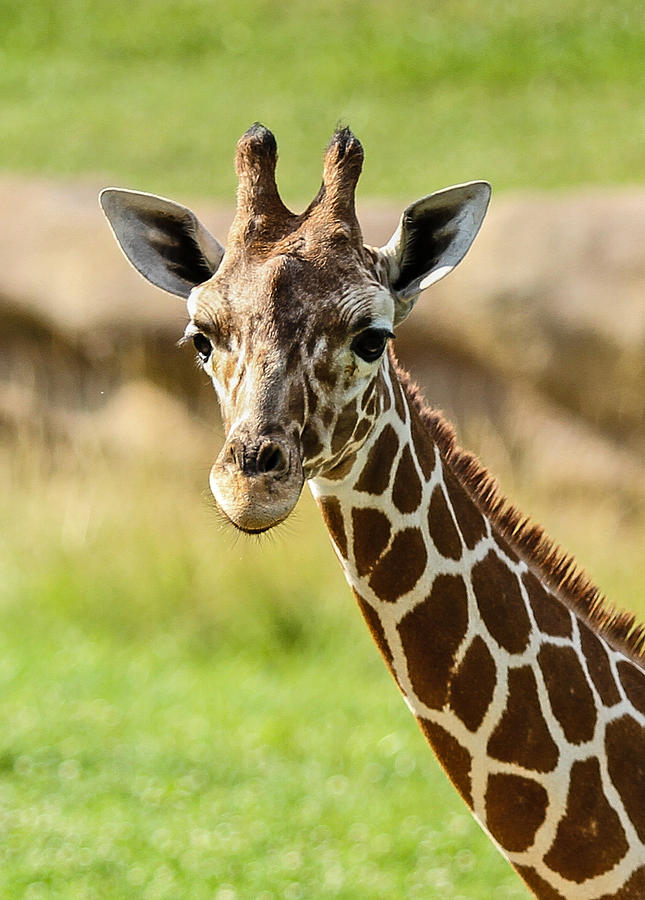 Giraffe Photograph - G Is For Giraffe by John Haldane