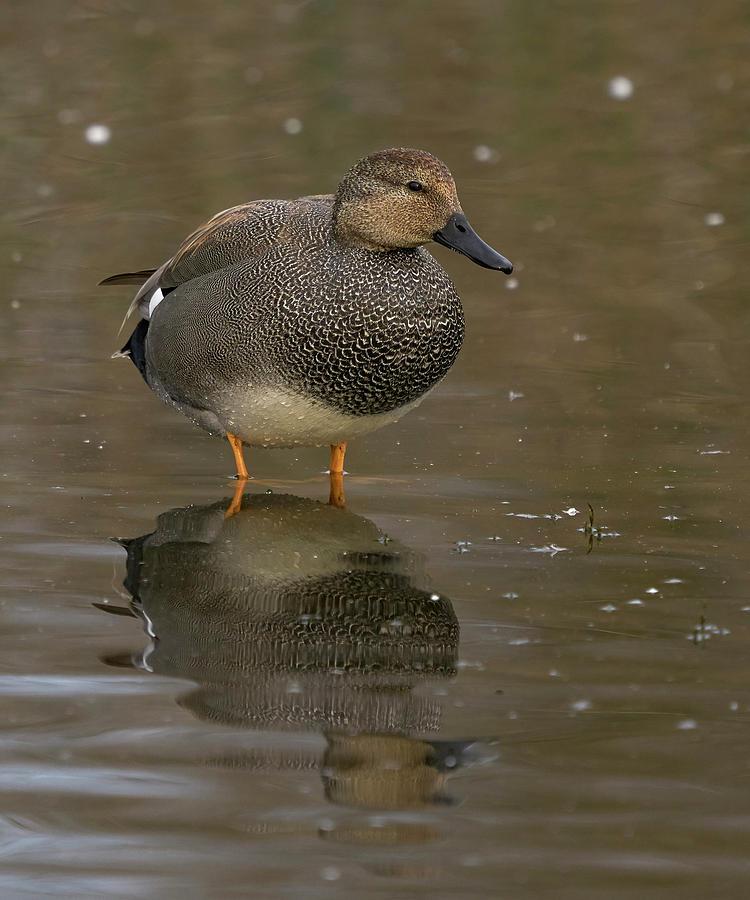 Birds Photograph - Gadwall by Doug Herr