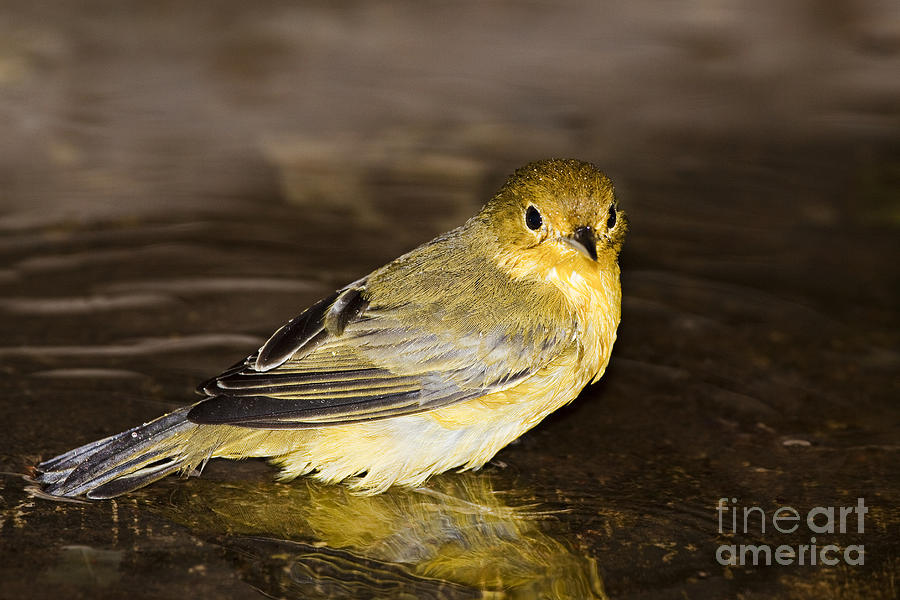 Animal Photograph - Galapagos Mangrove Warbler by Dave Fleetham - Printscapes