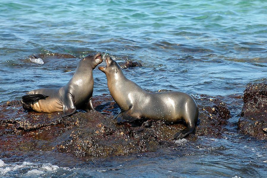 Sea Lion Photograph - Galapagos Sea Lion by Alan Lenk