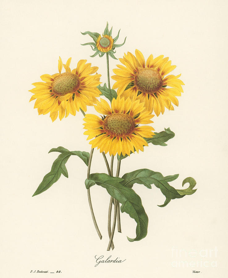 1833 Photograph - Galardia by Granger