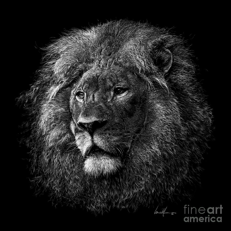 Lion Drawing - Gallant by Laurie Musser