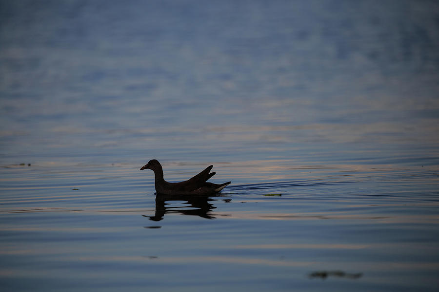 Gallinule Silhouette Lake Okeechobee by CHRISTOPHER L THOMLEY