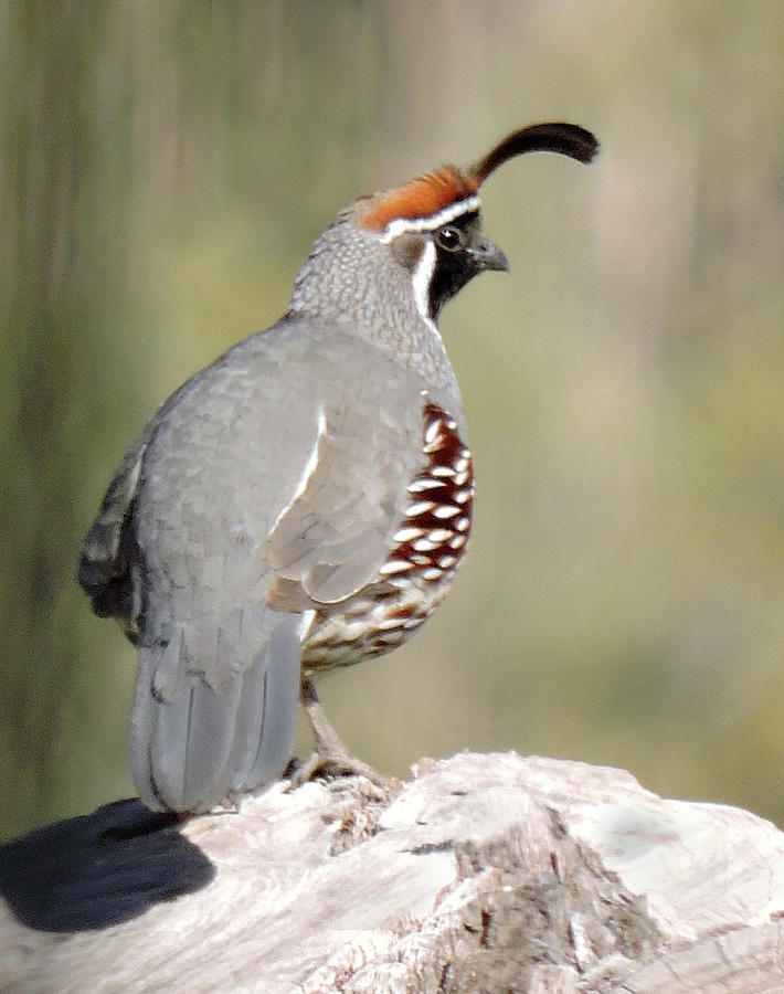 Gambel's Quail by Grace Dillon