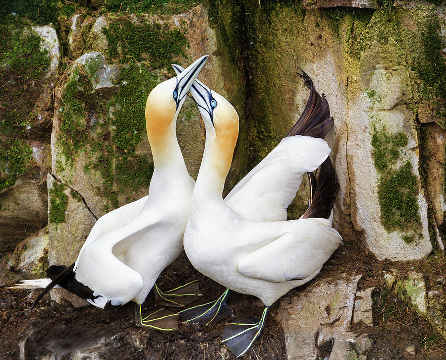 Canada Photograph - Gannet Passion by Tracy Munson