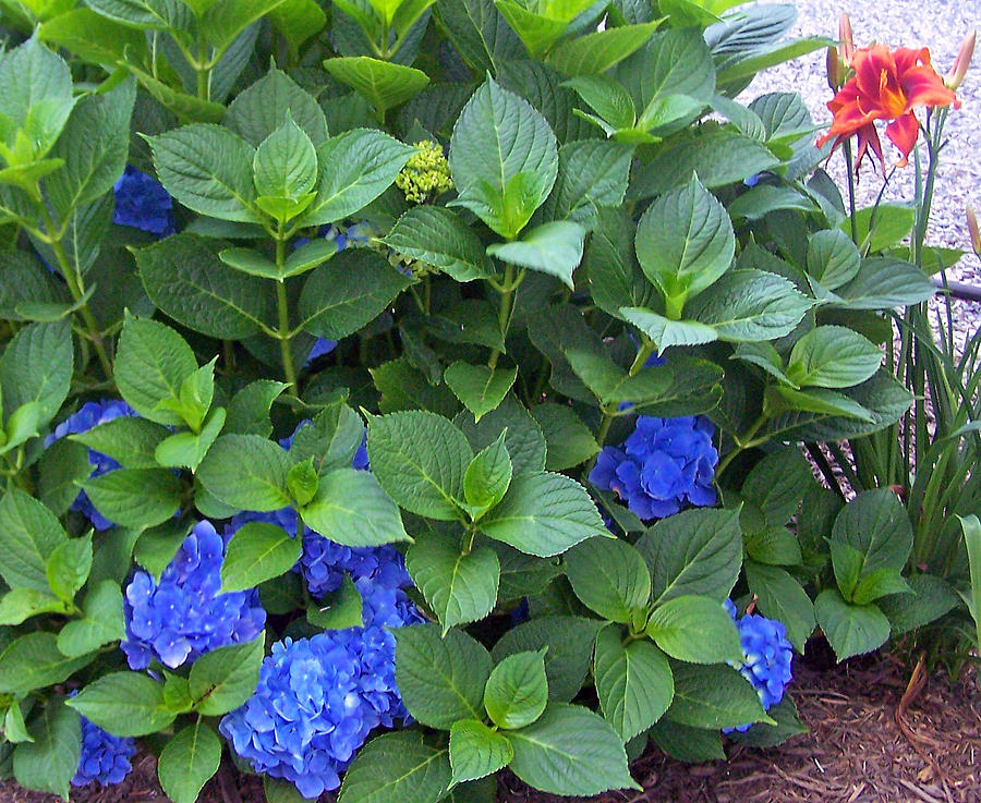 Hydrangeas Photograph - Garden Blues With A Touch Of Red by Patricia Taylor