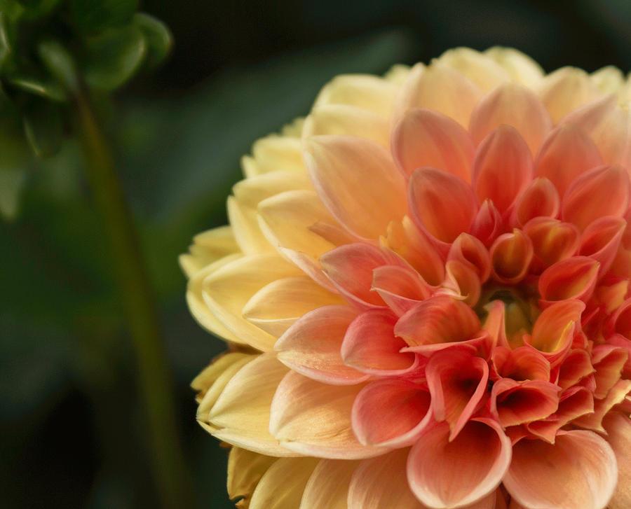 Garden Dahlia Pyrography
