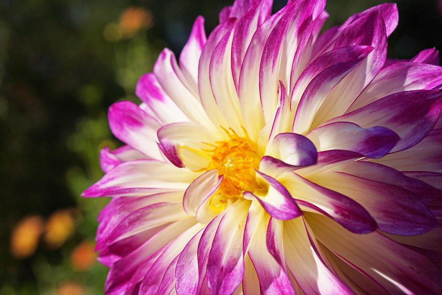 Garden Dahlia Flower Fine Art Prints Photograph