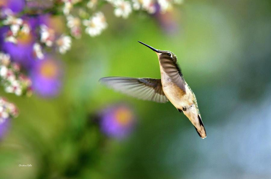 Hummingbird Photograph - Garden Hummingbird by Christina Rollo
