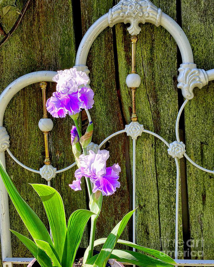 Garden Irises  by Sue M Marshall