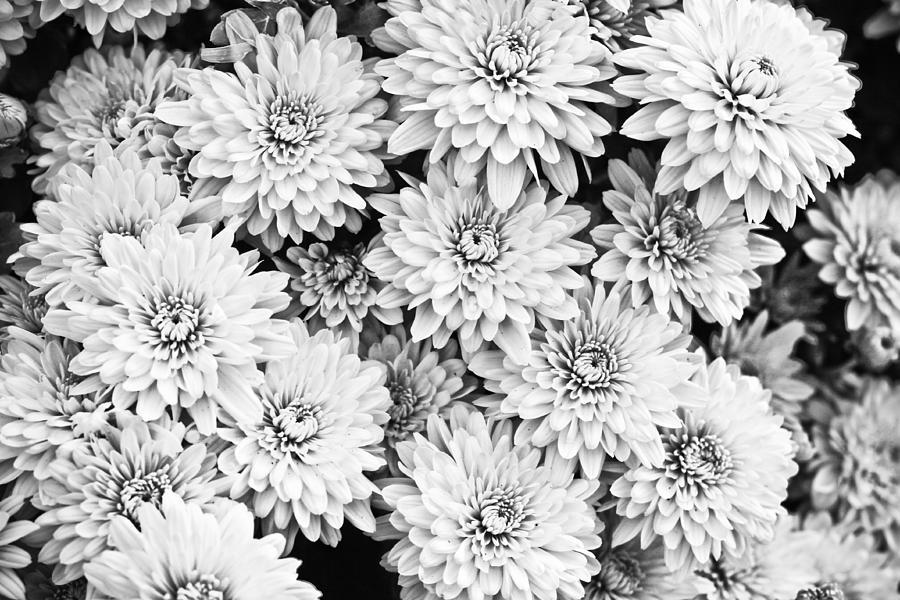 Black Photograph - Garden Mums by Ryan Kelly