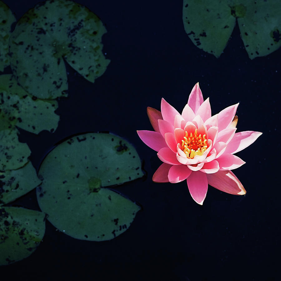 Water Lily Photograph - Garden Party For One by Jessica Manelis