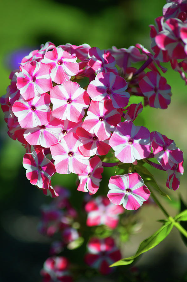 Garden Phlox Photograph - Garden Phlox by Linda Kerkau