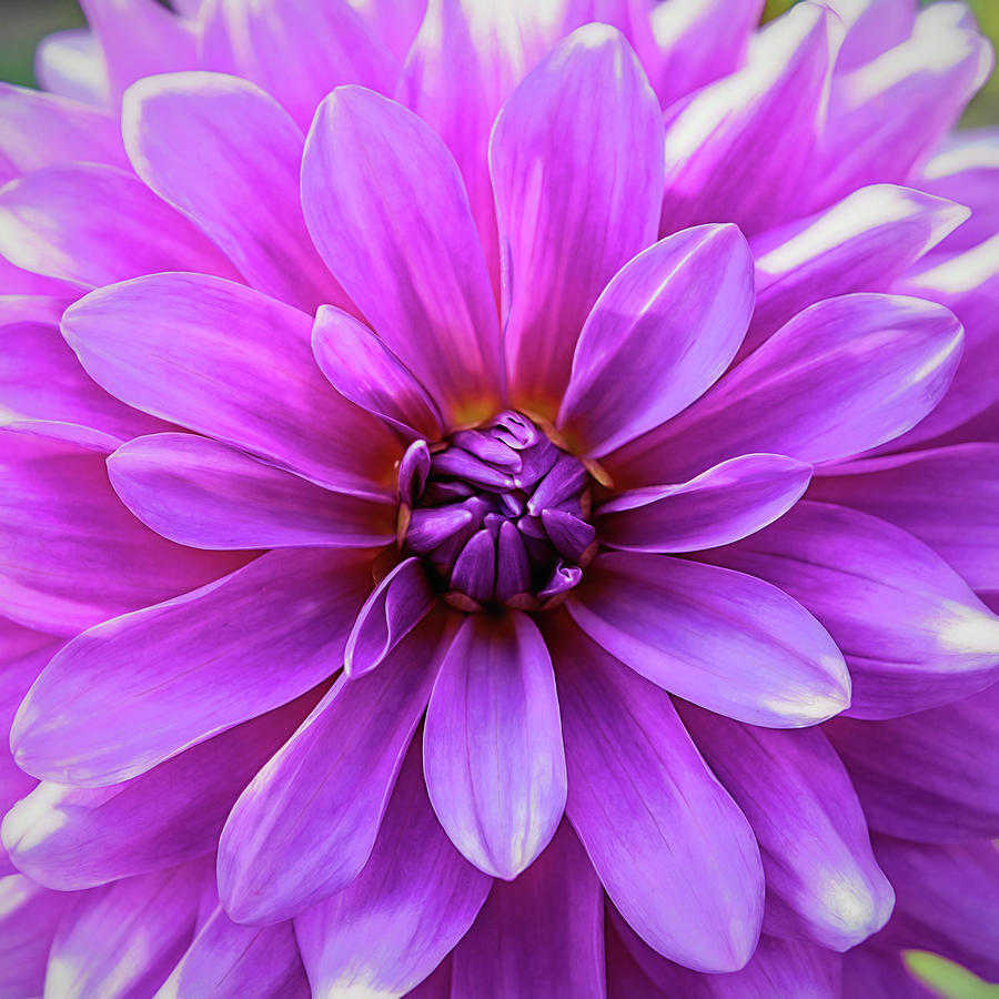 Pink Photograph - Garden Pink by Jessica Manelis