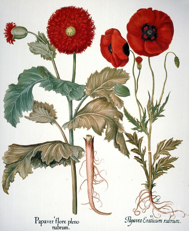 Basilius Photograph - Garden Poppy by Granger
