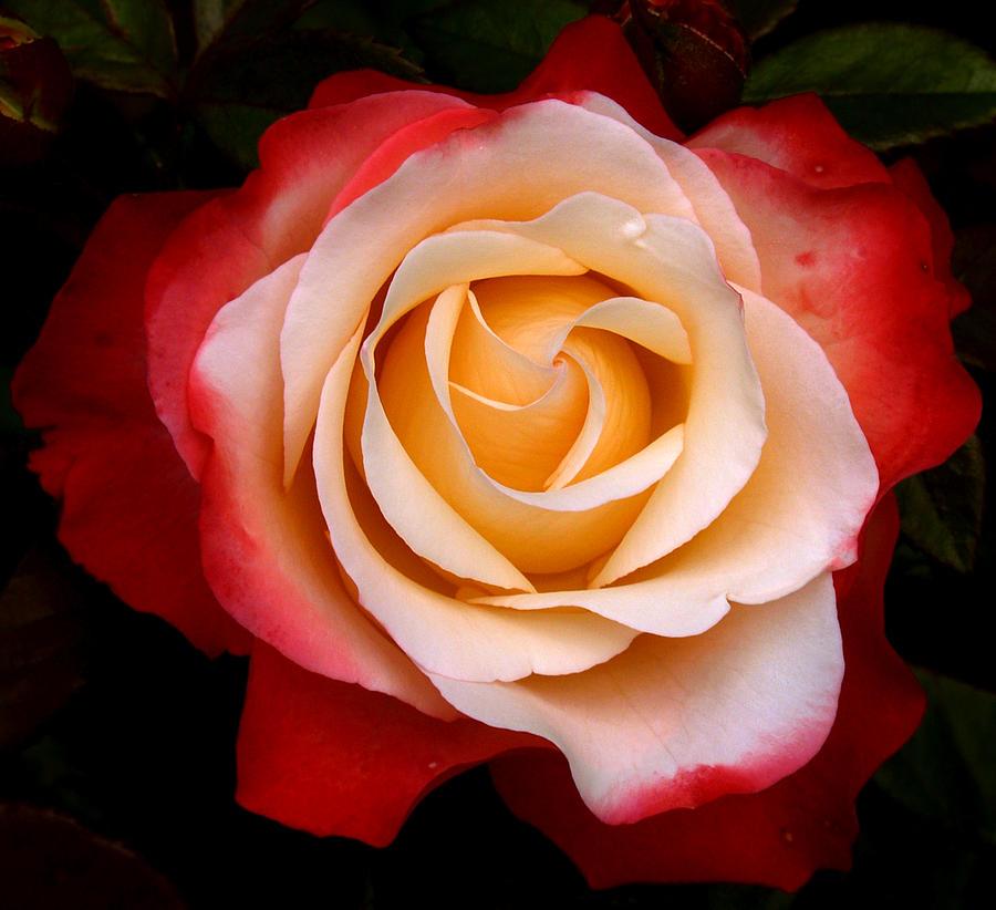 Garden Rose by Luc Van de Steeg