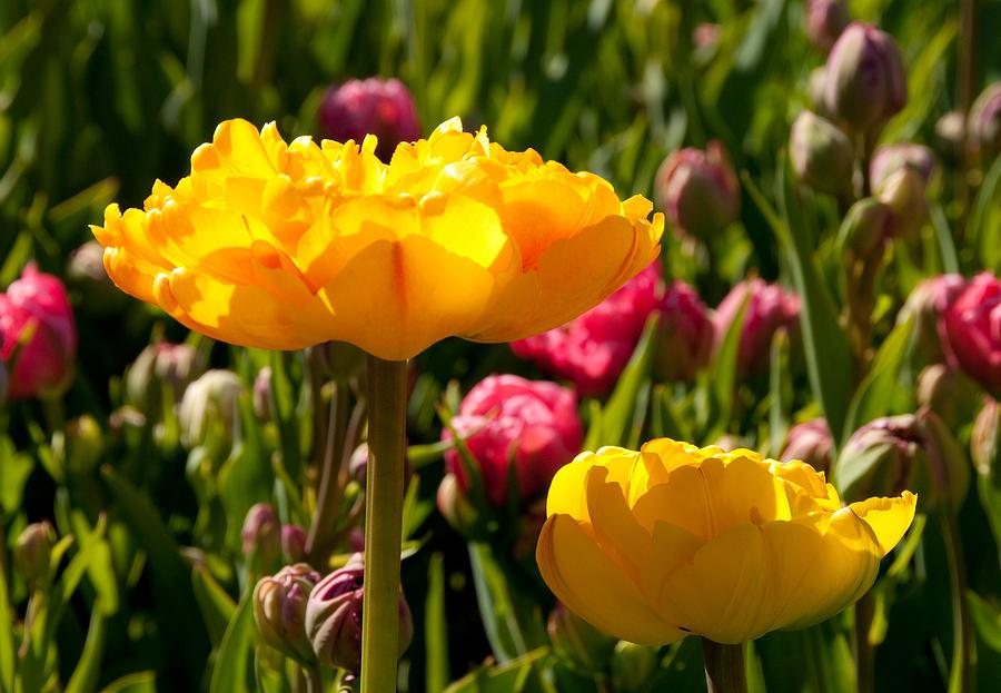 Flower Photograph - Garden Sunshine by Charlet Simmelink