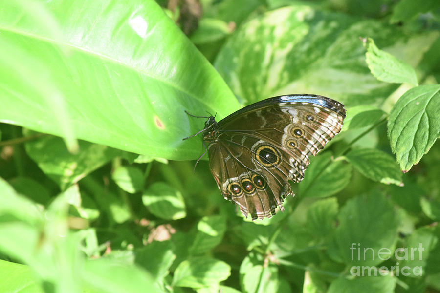 Blue Morpho Photograph - Garden With A Blue Morpho Butterfly With Wings Closed by DejaVu Designs