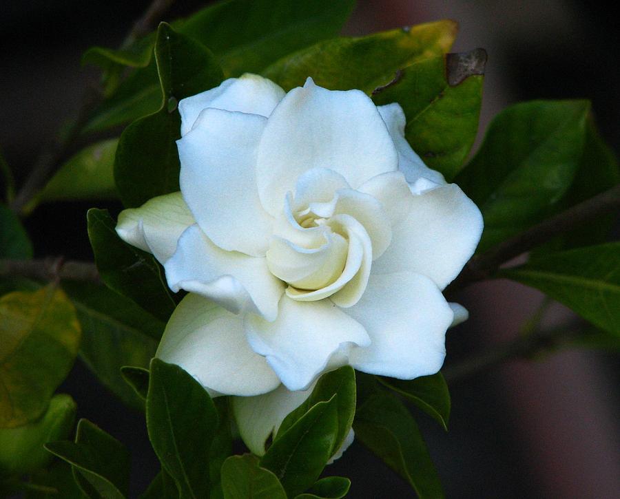 Gardenia Photograph - Gardenia 5 by J M Farris Photography