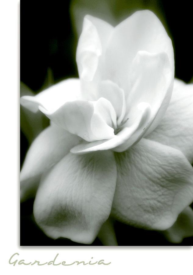 Flower Photograph - Gardenia by Holly Kempe
