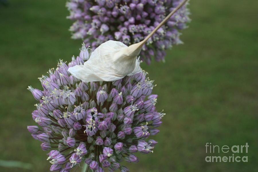 Garlic Photograph - Garlic  by Leslie  Sims