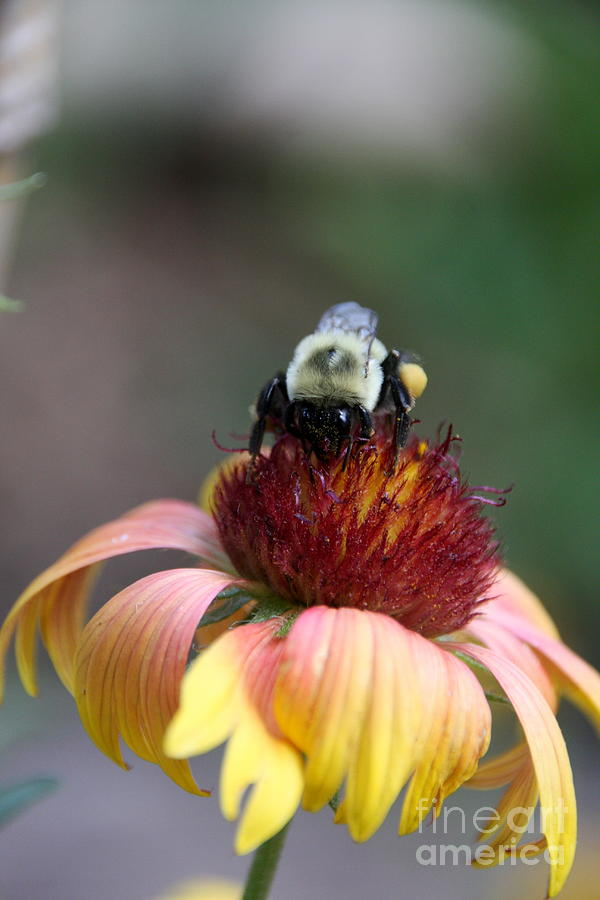 Bee Photograph - Gatherer by Wendy Coulson