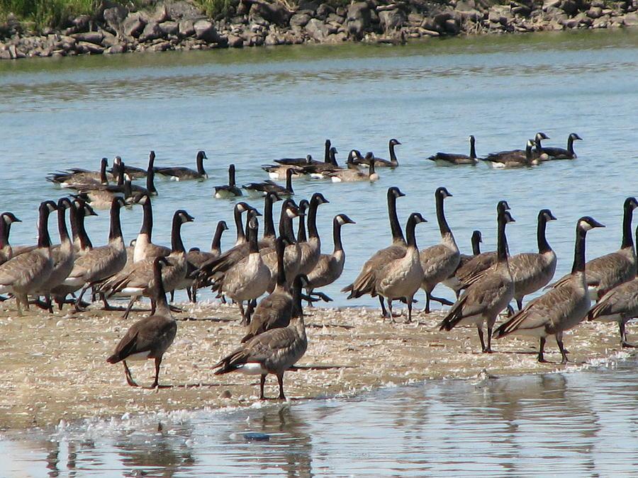 Geese Photograph - Gathering by Athena Ellis