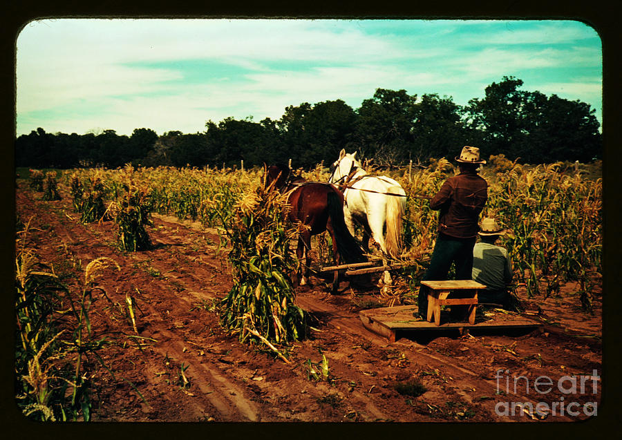 Gathering Corn In The Field Painting