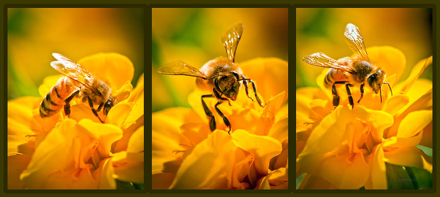 Bees Photograph - Gathering Pollen Triptych by Bob Orsillo