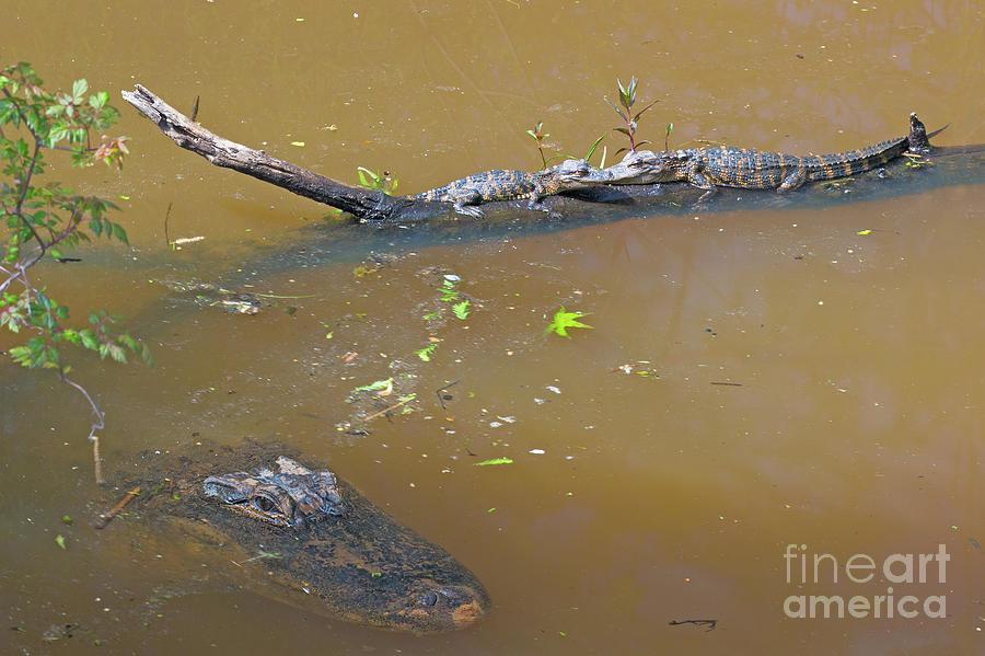 Adventure Photograph - Gator Alley Family by Steven Dillon