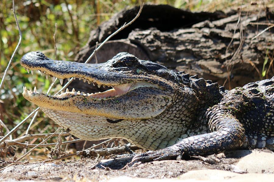 Gator Grin  by Christy Pooschke
