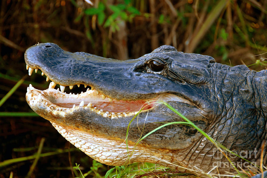 Alligator Photograph - Gator Head by David Lee Thompson