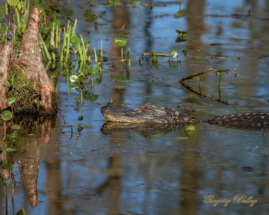 Gator In Cypress Lake 3 Photograph by Gregory Daley  MPSA