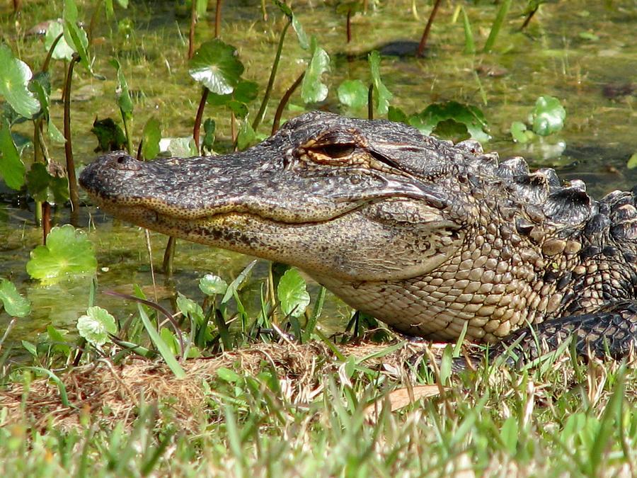 Gator Photograph - Gator by J M Farris Photography